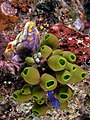 Tunicate medley komodo.jpg