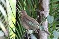 Turdus grayi -Costa Rica-8.jpg