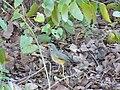 Turdus libonyanus.jpg