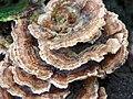 Turkeytail (Trametes versicolor) (5512746573).jpg