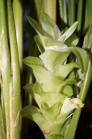 Turmeric - Inflorescence of Curcuma longa