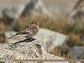 Twite (Carduelis flavirostris) (45712000675).jpg