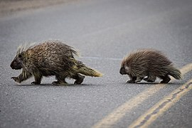 Two Porcupines (7980886456).jpg