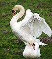 Two swans - geograph.org.uk - 1180334.jpg