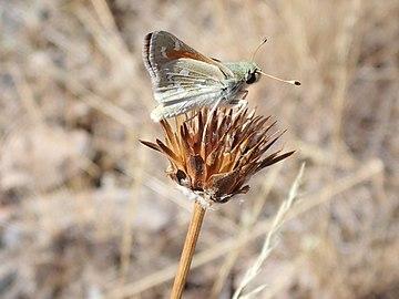 US Utah Tineidae in Antelope Island.JPG