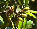 Ulmo (Eucryphia cordifolia) - immature fruits (Inao Vásquez) 001.jpg