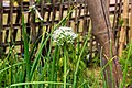 Umbel of onion flowers-Koshi Tappu Wildlife Reserve-Paschim Kasuha 06.JPG