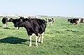 Un troupeau de vaches laitières.jpg