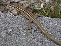 Unidentified Lacertidae.002 - O Barqueiro.JPG