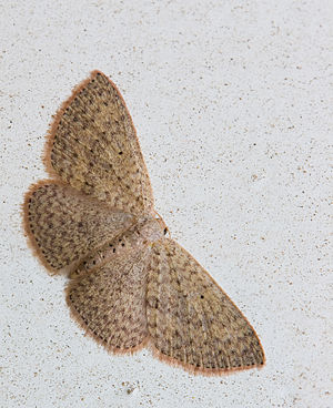 Geometer moth - Scopula sp.