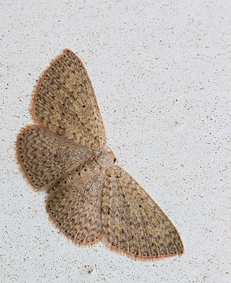 Geometer moth - Scopula sp.