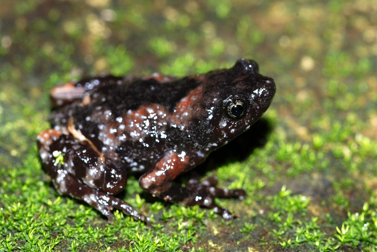 Image Result For Narrow Mouthed Frog
