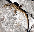 Urkiola - lizard.jpg