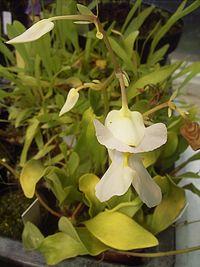 Utricularia alpina.jpg
