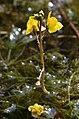 Utricularia australis (8438297411).jpg