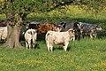 Vaches allée Pré Brus St Cyr Menthon 27.jpg