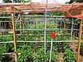Vegetable garden - pomodori negli orti urbani di Legnano quartiere Mazzafame, via della Pace - 2018-05-13.jpg