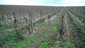 Cabardès AOC - A vineyard in Cabardès