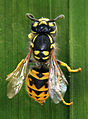Vespula germanica Topview Richard Bartz.jpg