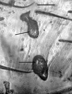 <i>Vetufebrus</i> genus of protists