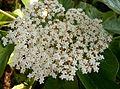 Viburnum japonicum cv1.jpg