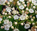 Viburnum opulus20090612 430.jpg