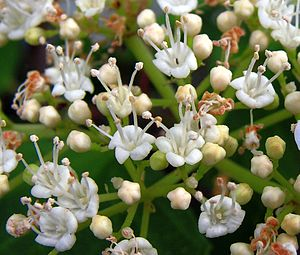 The flowers of cultivated Guelder rose (Viburn...
