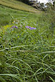 Vicia cracca bray-sur-somme 80 25062007 1.jpg