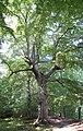 Vilm alter Baum, Großer Vilm.jpg