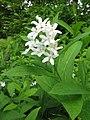 Vincetoxicum acuminatum.JPG