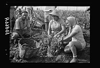 Vintage activities at Richon-le-Zion, Aug. 1939. Group of grape pickers (close up) LOC matpc.19759.jpg