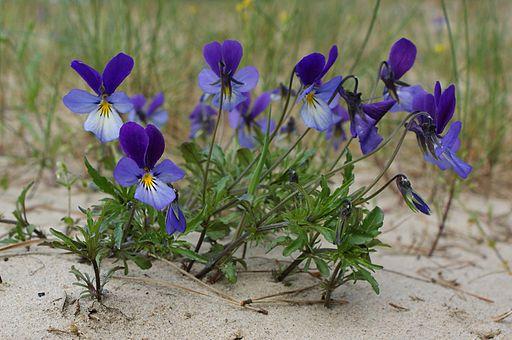 Viola tricolor maritima kz3