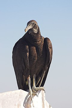 Vulture Perched (87173912).jpg