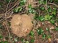 Wandering Giant Puffball (Calvatia gigantea) - geograph.org.uk - 1121870.jpg