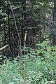 Wapta Falls Trail IMG 4932.JPG