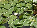 Water lilies, Natural History Museum Wildlife Garden - geograph.org.uk - 464871.jpg