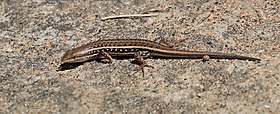 Wedge-snouted skink (Trachylepis acutilabris).jpg
