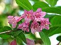 Weigela praecox flowers 01.JPG