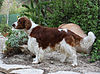 Welsh Springer Spaniel 1.jpg