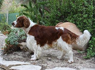 Welsh Springer Spaniel Dog breed