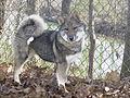 "West Siberian Laika pup named ""Lookin' Up Katerina"".jpg"