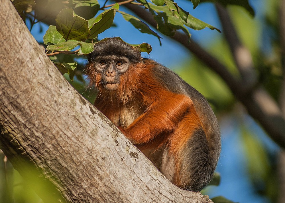 The average litter size of a Western red colobus is 1