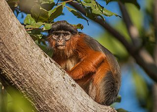 Western red colobus Species of Old World monkey
