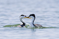 Western and clarks grebe.jpg