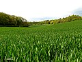 Wheat Farmland - geograph.org.uk - 8758.jpg