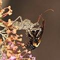Wheel bug devouring a bee, -1 (14851458298).jpg