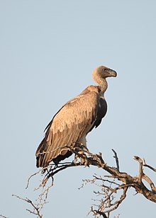 White-backed Vulture.jpg