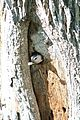 White-breasted Nuthatch (with fecal sac ) -NMP 6-11-12 9.jpg