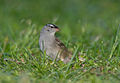 White-crowned Sparrow in Ohio.jpg