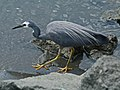 White-faced Heron auckland RWD.jpg